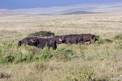 Pastwiskowi przylądków bizony Obraz Stock