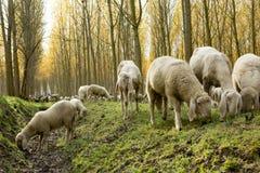 pastwiskowi trzy owce Obrazy Stock