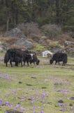 pastwiskowi yak Zdjęcia Stock