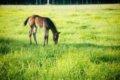 Pastwiskowy źrebię Zdjęcie Royalty Free