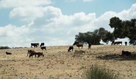 Pastwiskowy bydło w Hiszpania Zdjęcie Stock