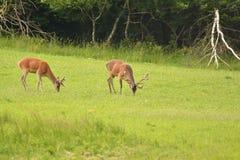 Pastwiskowy deers jelenia jeleń na łące Zdjęcia Royalty Free
