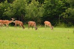Pastwiskowy deers jelenia jeleń na łące Obraz Stock