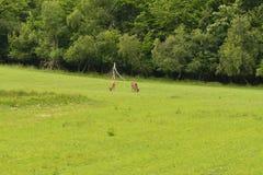 Pastwiskowy deers jelenia jeleń na łące Fotografia Royalty Free