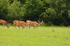 Pastwiskowy deers jelenia jeleń na łące Zdjęcie Royalty Free