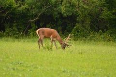 Pastwiskowy deers jelenia jeleń na łące Obraz Royalty Free