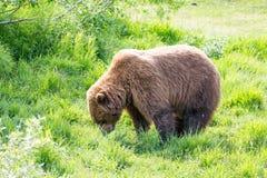 Pastwiskowy grizzly niedźwiedź Obrazy Stock