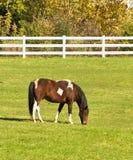 pastwiskowy koń Zdjęcie Stock