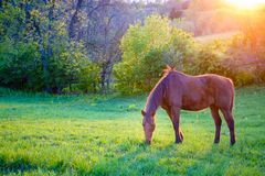 Pastwiskowy koń Fotografia Stock