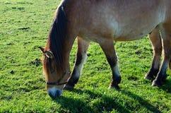 Pastwiskowy koń Obraz Stock