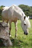 pastwiskowy koń Obraz Royalty Free