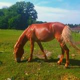 Pastwiskowy koń Zdjęcia Stock
