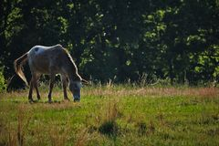 Pastwiskowy koń Obrazy Royalty Free