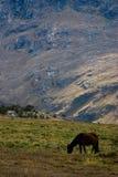 Pastwiskowy koń Zdjęcia Royalty Free