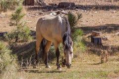 pastwiskowy koński dziki Fotografia Royalty Free