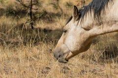 pastwiskowy koński dziki Obrazy Royalty Free