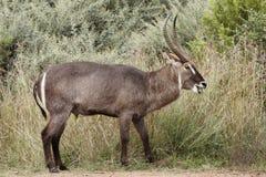 pastwiskowy męski waterbuck zdjęcia royalty free
