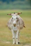 Pastwiskowy osioł na wiejskim obszarze trawiastym Zdjęcia Royalty Free
