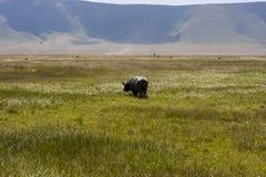 Pastwiskowy przylądka bizon Obrazy Stock