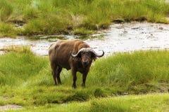 Pastwiskowy przylądka bizon Obraz Stock