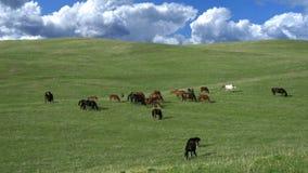 Pastwiskowy stado zbiory wideo