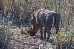 pastwiskowy warthog Fotografia Royalty Free
