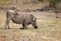 Pastwiskowy warthog w Kruger parku narodowym Zdjęcia Royalty Free