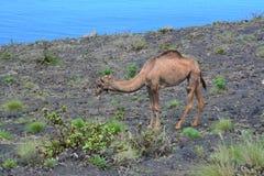 Pastwiskowy wielbłąd na skalistym, lawowym polu, Obraz Stock