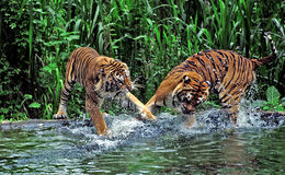 Pasuruan. Tiger fights in lake at the Safari Park in Pasuruan, East Java, Indonesia Stock Images