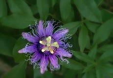 Pasyjna kwiat roślina z zielenią Opuszcza tło obraz royalty free