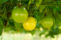 Pasyjna owoc Obrazy Royalty Free