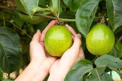 Pasyjna owoc Zdjęcia Stock