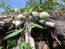 Pasyjna owoc kwitnie na dachu Zdjęcie Royalty Free