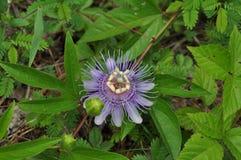 Pasyjnej owoc kwiat Zdjęcia Stock