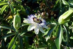 Pasyjnej owoc kwiat Fotografia Stock