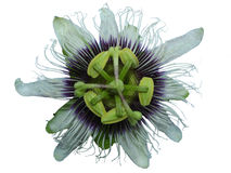 Pasyjnej owoc kwiat Zdjęcie Royalty Free