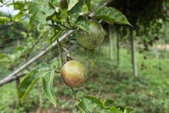 Pasyjnej owoc plantacja Fotografia Royalty Free