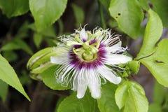 Pasyjny kwiat Fotografia Royalty Free