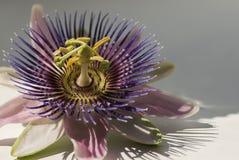 Pasyjny kwiat Fotografia Stock