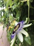 Pasyjny kwiat Obrazy Royalty Free