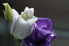 Pasyjny kwiat 37 Zdjęcia Royalty Free