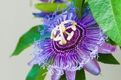Pasyjny kwiatu zakończenie Obraz Royalty Free