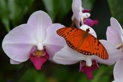 Pasyjny motyl, zatoki Fritillary/(Agraulis Vanillae) Obrazy Royalty Free