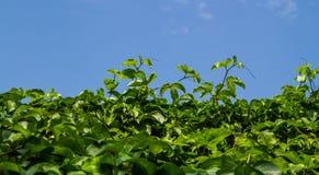 Pasyjny owocowy drzewo Zdjęcie Royalty Free