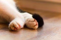 Pata branca dos gatos Imagem de Stock