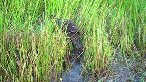 A pata da mãe guia seus patinhos entre as gramas molhadas video estoque