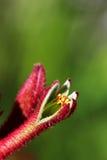 Pata de canguro Foto de archivo libre de regalías