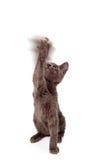 Pata de ondulação do gatinho brincalhão no ar Fotos de Stock Royalty Free
