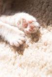 Pata de un gatito Imagen de archivo libre de regalías