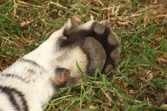 Pata de un tigre en descanso, garras contraídas Foto de archivo